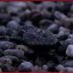 L'emozionante schiusa delle uova di una tartaruga Caretta Caretta.
